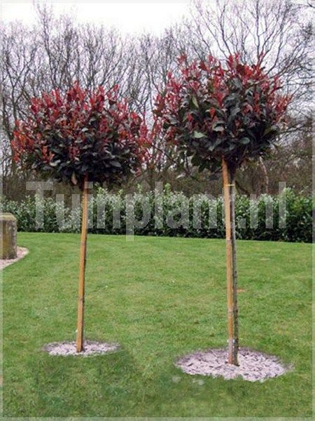 photinia fr 39 little red robin 39 photinia fraseri. Black Bedroom Furniture Sets. Home Design Ideas