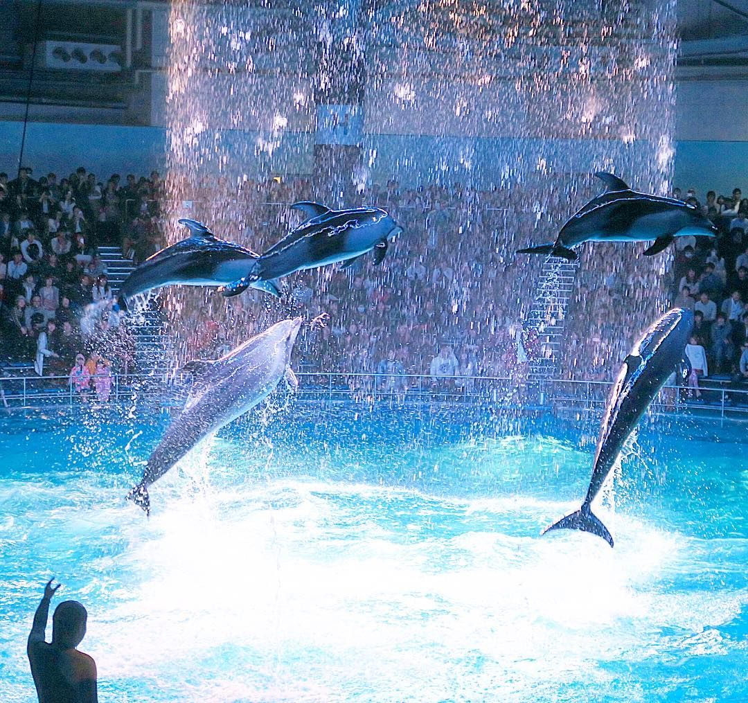 The dolphin show at Epson Aqua Park Shinagawa. Epson Aqua Park is a new urban entertainment facility in Tokyo that transcends the category of aquarium. #Japan #Tokyo #acquarium #dolphins #travel