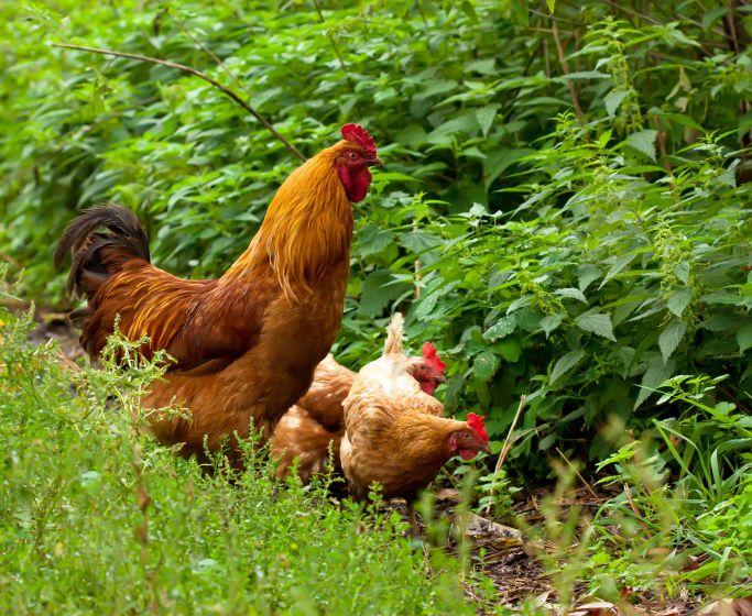 Hühnerhaltung Im Garten glückliche hühner im eigenen garten hendlhaltung für anfänger