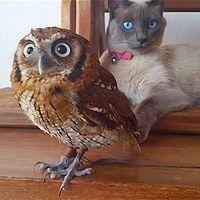 Pöllö ja kissa ovat bestiksiä - katso video