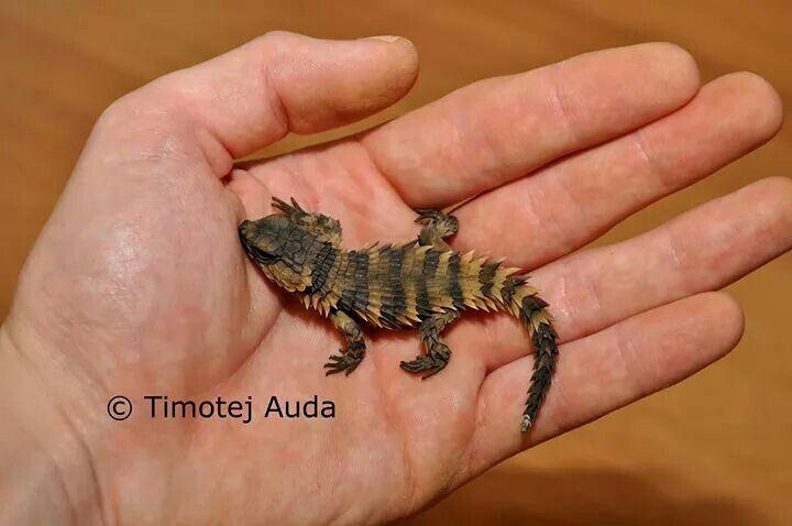 Armadillo Girdled Lizard (O Cataphractus) baby | **Animals