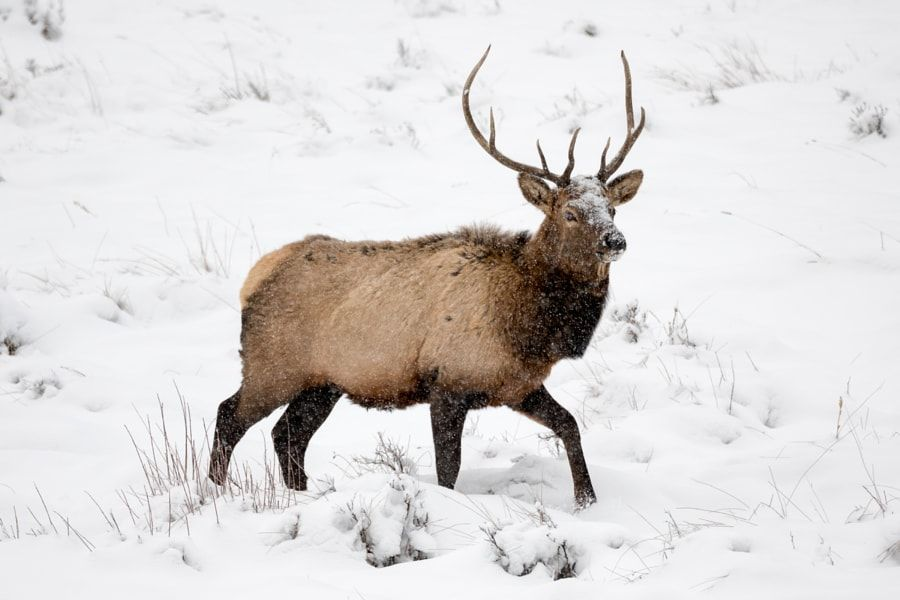 A Frigid Journey - A wild mature bull elk continues to wrangle his harem collected during the annual rut amongst a harsh winter storm near Moraine Park - Rocky Mountain National Park CO
