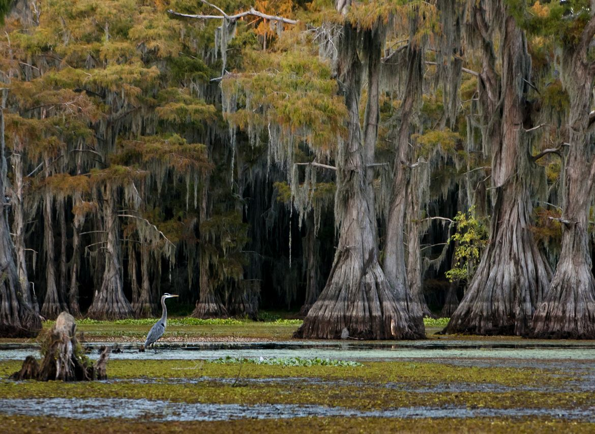 pictures of caddo lake in texas   Photograph Caddo Lake ...