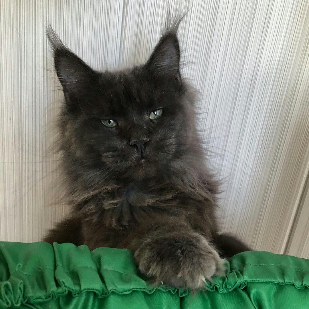 ️ ️ #persiancatkitty | Cat online, Persian cat, Cats