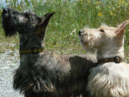 Brindle Wheat Colored Scottie Terriers Scottish Terrier