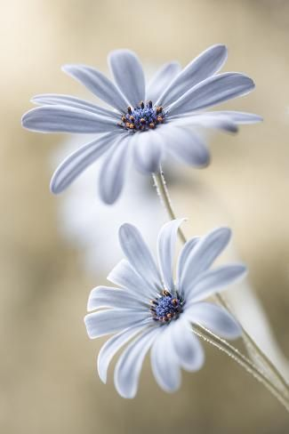 'Cape Daisies' Photographic Print - Mandy Disher | Art.com