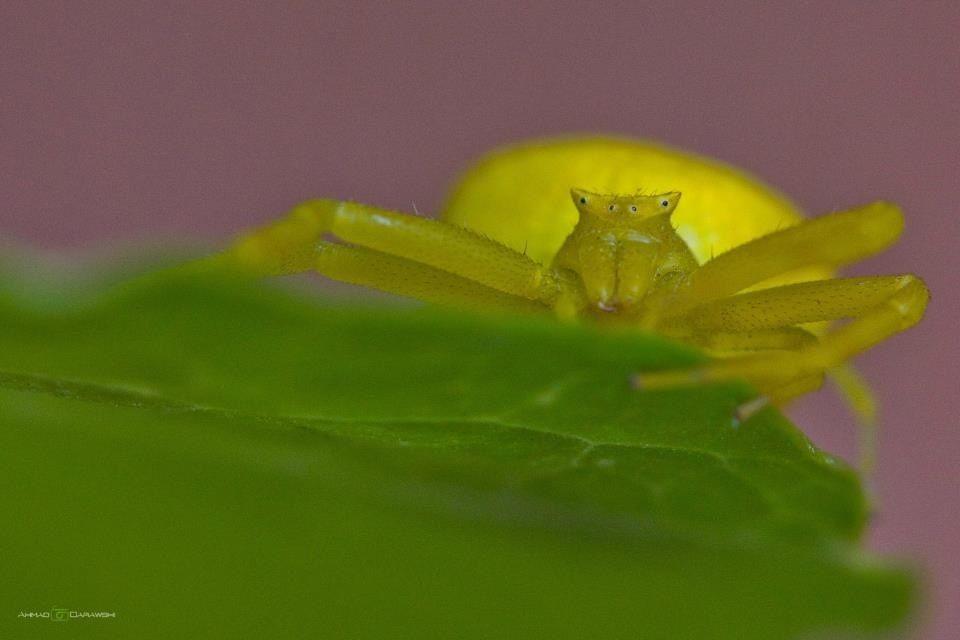 العنكبوت الاصفر Frog