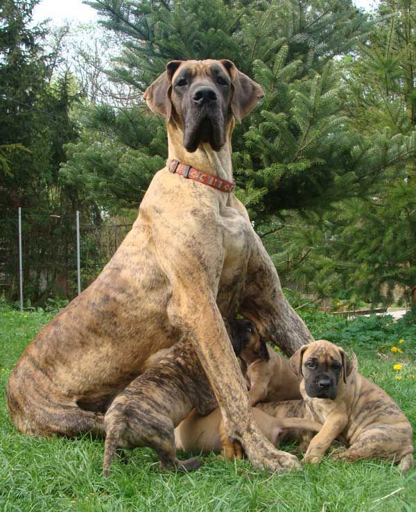 A Brindle Bunch Dane Dog Dane Puppies Great Dane Dogs