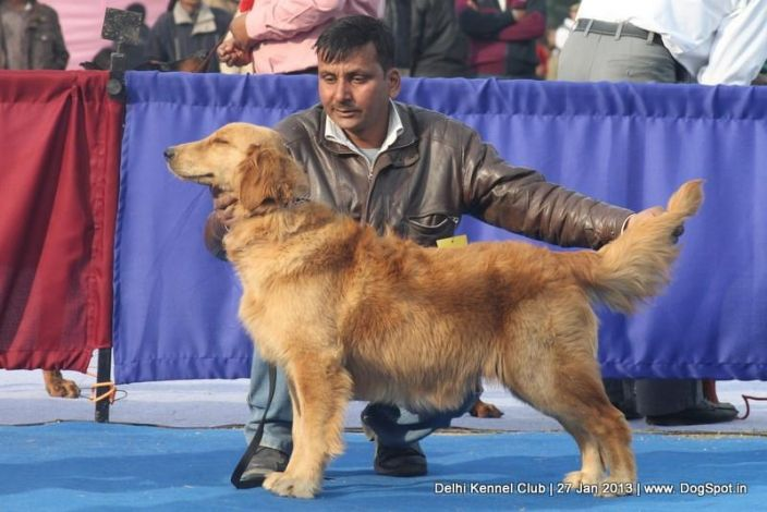 Golden Retriver Stacking In Jalandhar Dog Show Dogs Love Pet