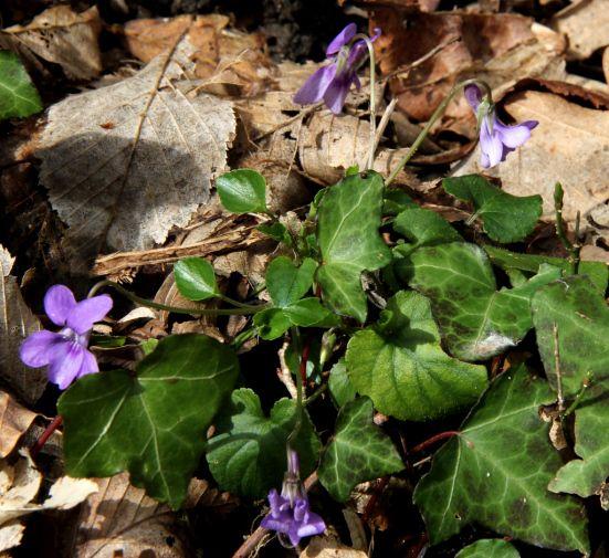 Dog violet, viola