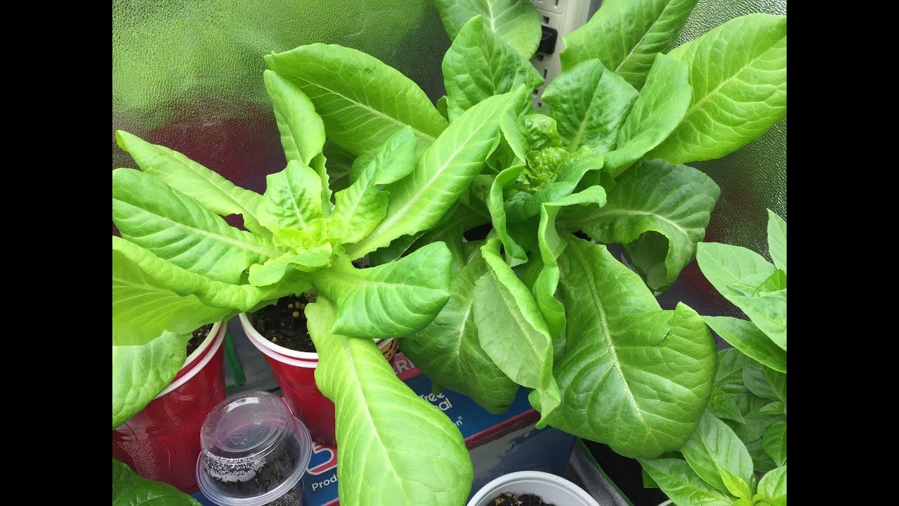 How To Grow Lettuce Indoors And Harvest Many Times Container