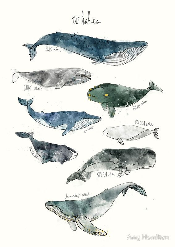Whales Poster By Amy Hamilton Whale Art Whale Drawings