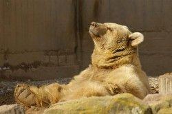 Syrischer Braunbär (Ursus arctos syriacus), Zoo Heidelberg