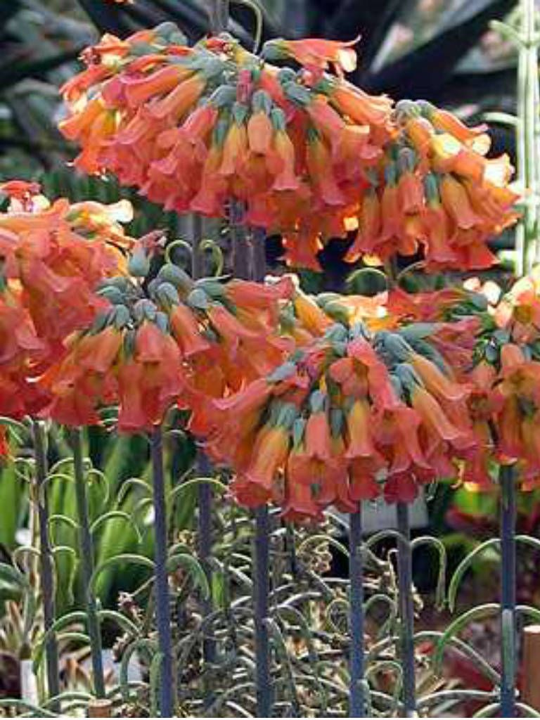 Kalanchoe delagoensis chandelier plant pinterest chandeliers kalanchoe delagoensis chandelier plant mother of thousands plant profile and more photos at aloadofball Choice Image