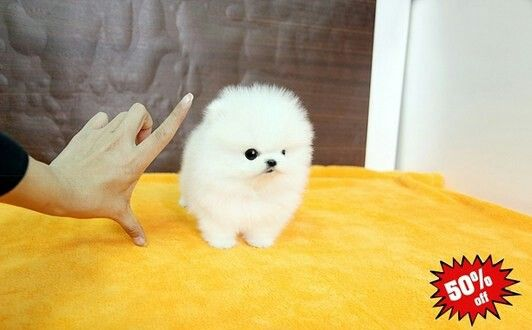 Pin By Bella Rhoades On The Puppy Of My Dreams Pomeranian Puppy