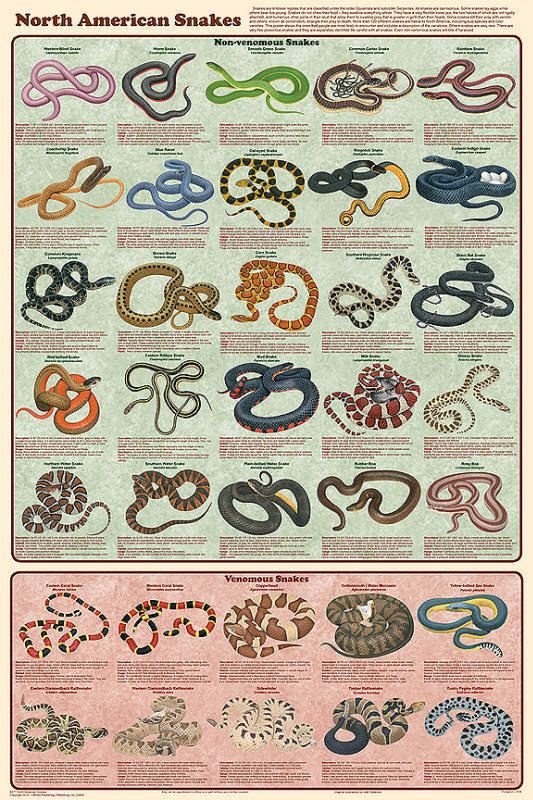 Details about NORTH AMERICAN SNAKES (LAMINATED) POSTER (61X91CM) REPTILE EDUCATIONAL CHART NEW