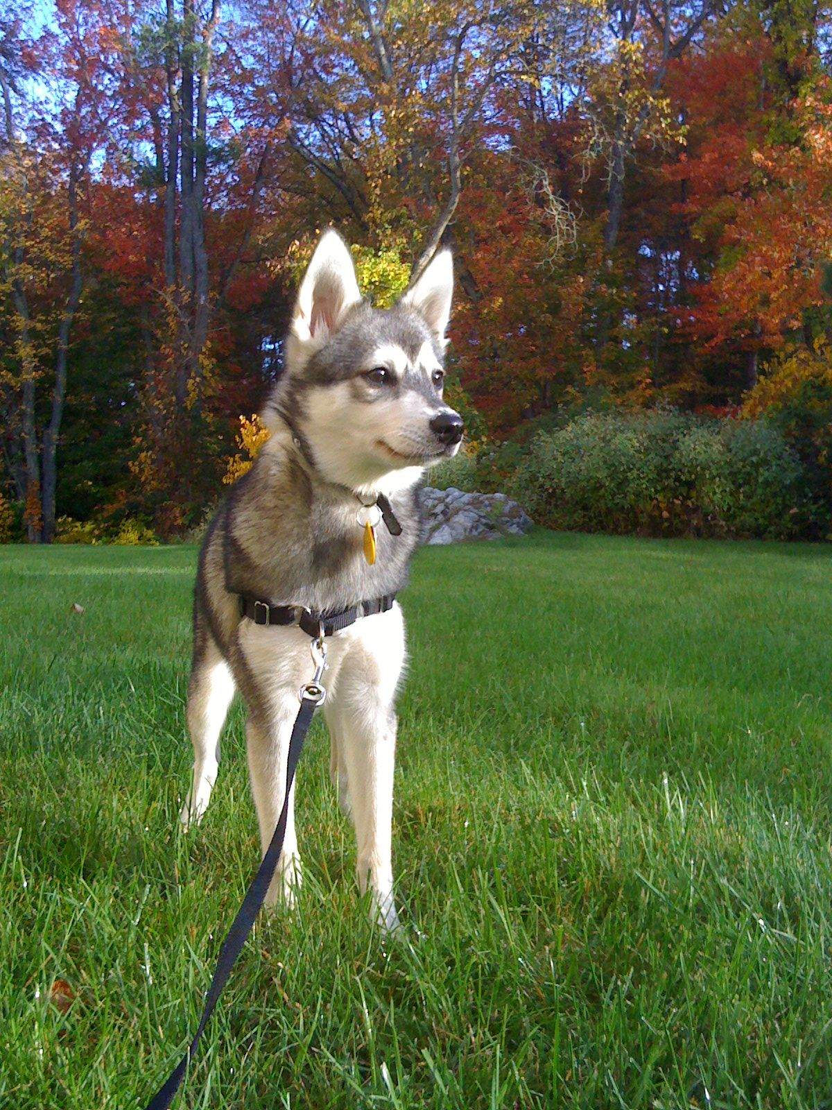 Wellpets The Alaskan Klee Kai Originates From Wasilla Alaska And