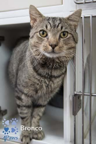 Adopt Bronco On Tabby Brown Brown Cat Tabby Cat