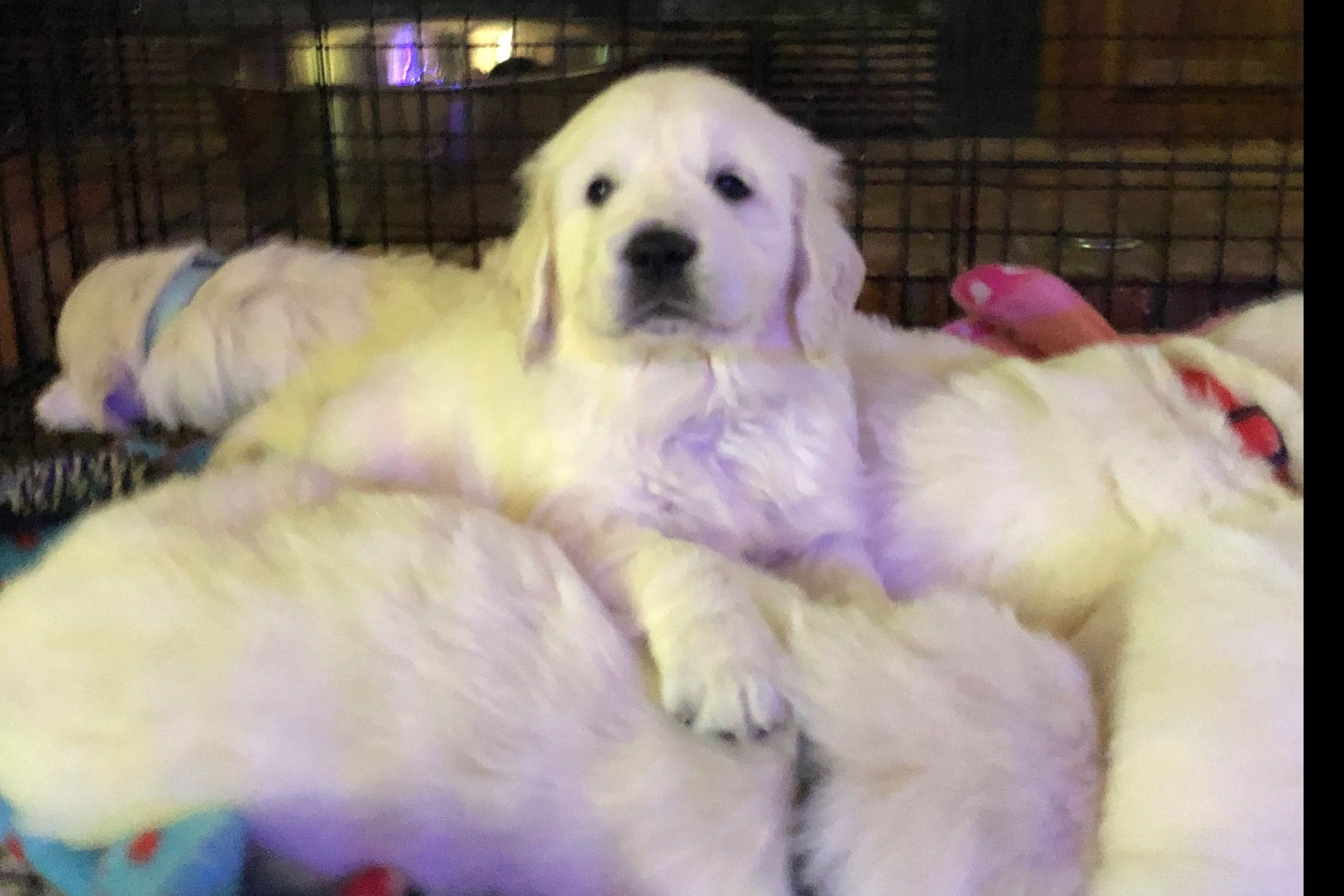 BabyFace Goldens Has Golden Retriever Puppies For Sale In