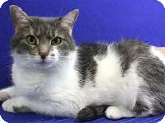 Blackwood Nj Domestic Shorthair Meet Barbie A Cat For Adoption Kitten Adoption Pets Cat Adoption