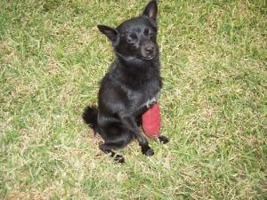 Beautiful Black Dogs For Adoption Chihuahua Melbourne