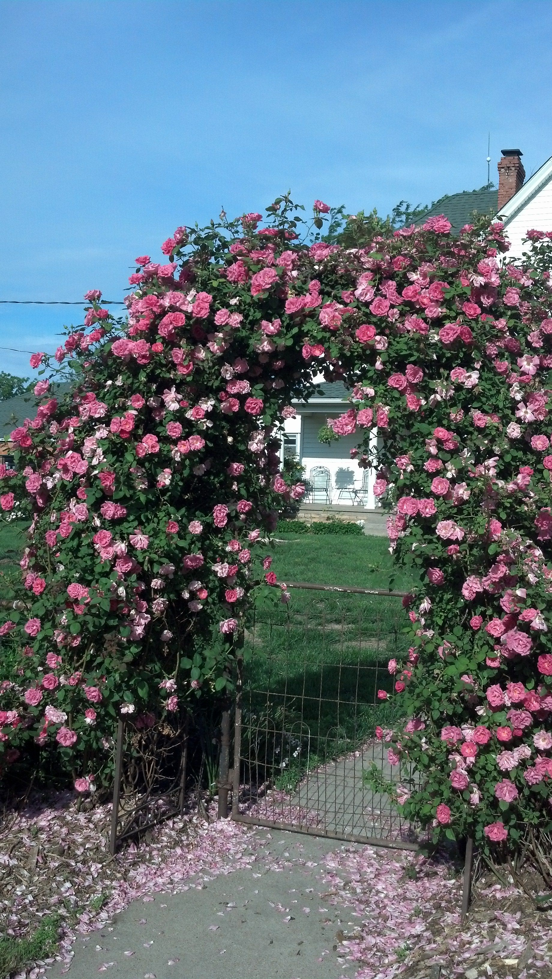 Zepherine Drouhin Climbing Roses On The Arbor Dad Designed And