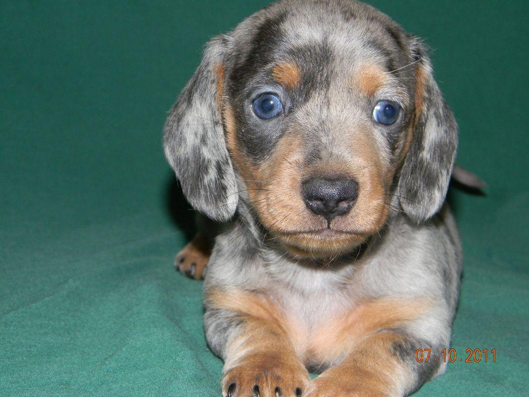 Micro Mini Dachshunds Puppies For Sale Petswall In 2020 Dachshund Puppies For Sale Dapple Dachshund Puppy Dapple Dachshund