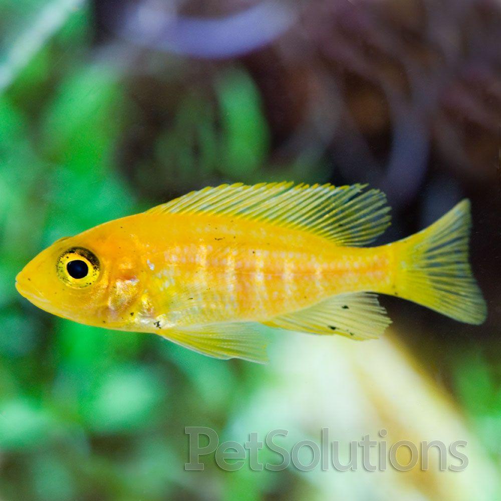 Gold Fin Peacock Cichlids, Fish, Freshwater aquarium fish