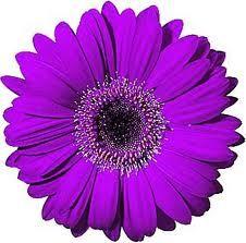 Purple Gerber Daisy Google Search Gerbera Gerbera Daisy