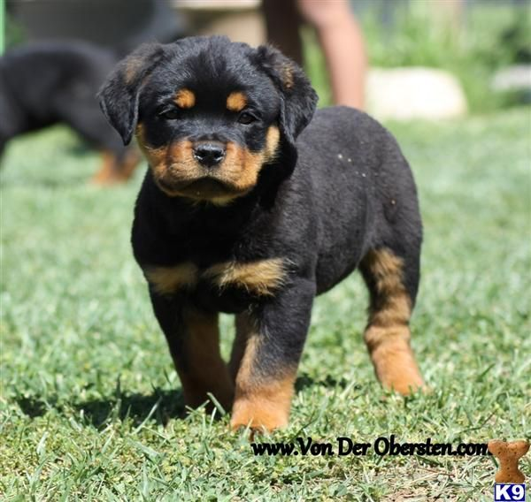 Pin By Jennifer Shultz Hall On Animals Rottweiler Puppies For