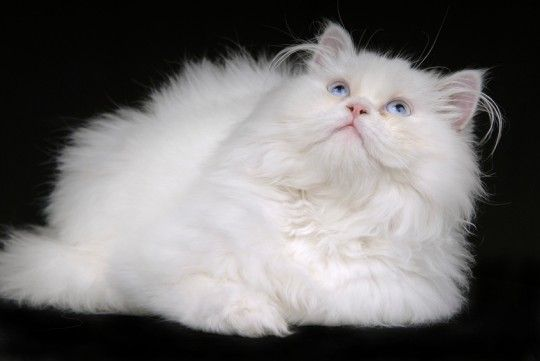 Persian Cats Cat Breeds Cats For Sale Types Of Cats