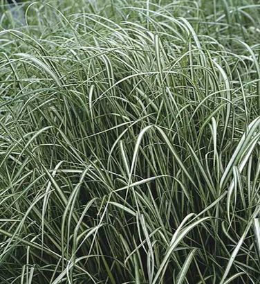 Calamagostris x acutiflora 39 avalanche 39 variegated for Variegated ornamental grass