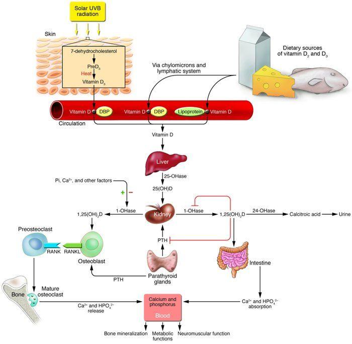 Vitamin D metabolic pathways | Vitamins, Minerals and Supplements ...