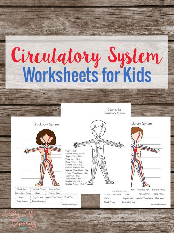 Circulatory System Worksheets For Kids Circulatory System