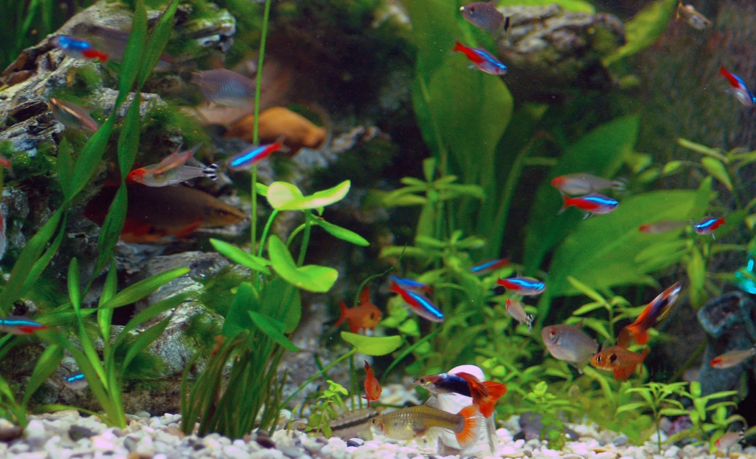 See Guppy Fish And Tetras Are They Good Tank Mates In 2020 Guppy Fish Neon Tetra Neon Tetra Fish