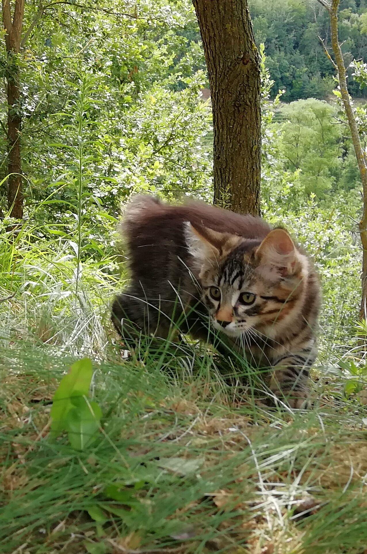 "Pedigree cats for sale. ""True Kurilians"" Kurilian Bobtail"
