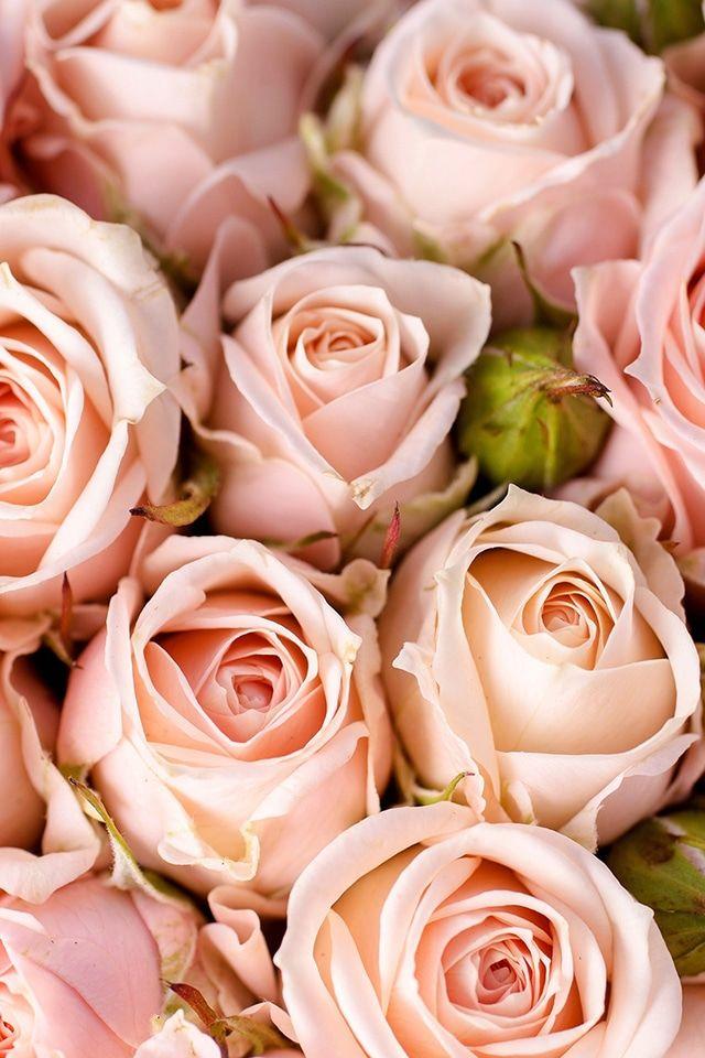 Https All Images Net Iphone Wallpaper Flowers 238 Iphone Wallpaper Flowers 238 Fond D Ecran Iphone Fleur Rose Toutes Les Fleurs