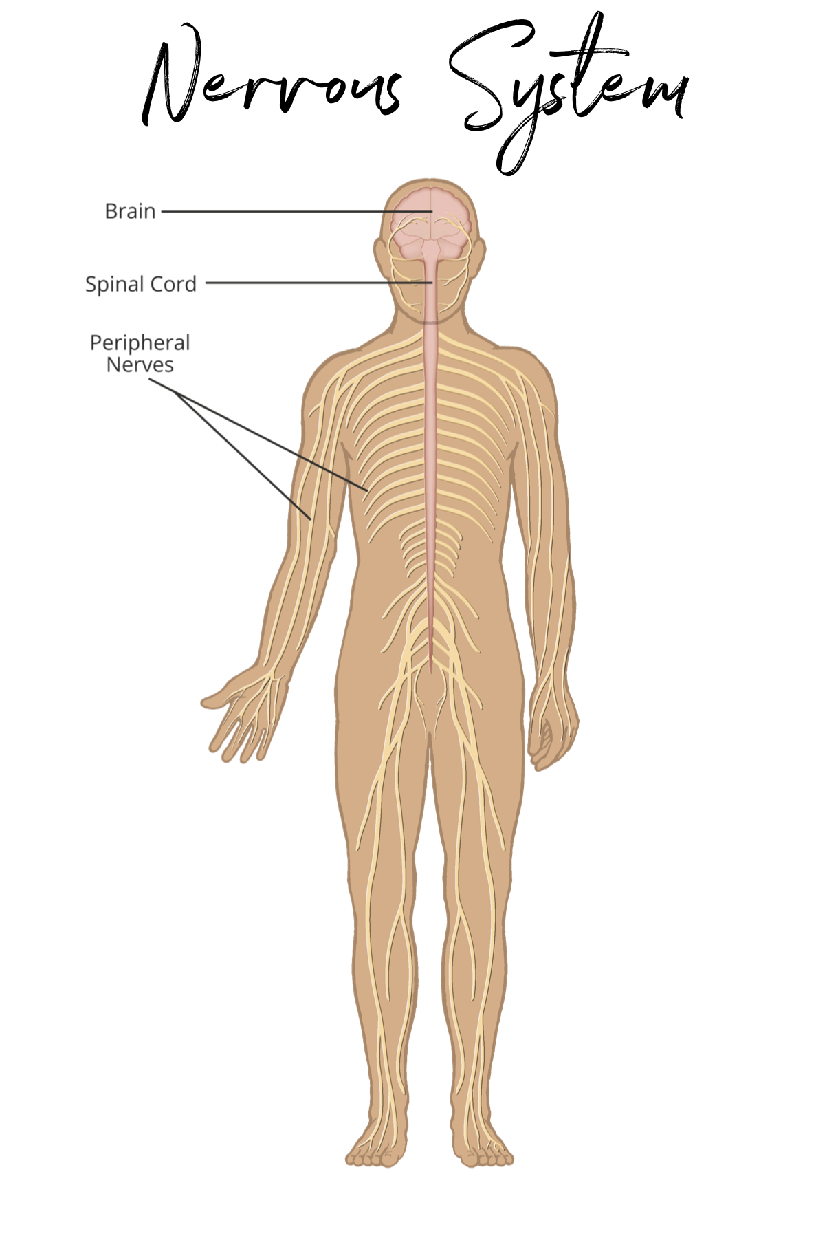 Symphony Of The Cells Body Systems Chart Condition Card Body Systems Peripheral Nervous System Body