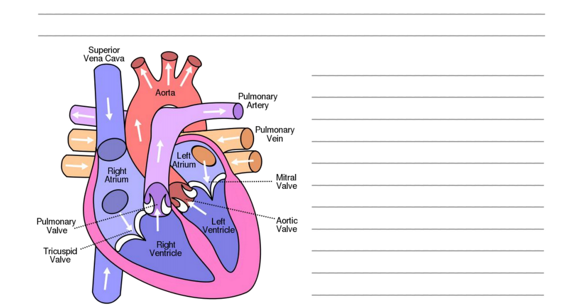 The Heart (1).pdf | Anatomy and Physiology | Pinterest | Pdf and ...