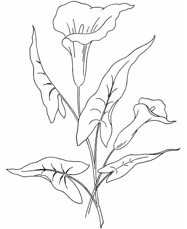 Coloriage Fleur Arum.Arum Lily Will Need To Be Sized Down Dessin Fleur A Colorier