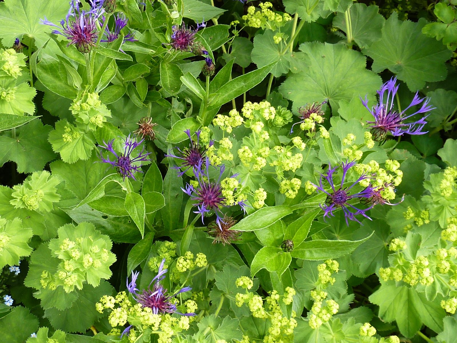 Alchemilla Mollis with is crinkled leaves and sulphur yellow