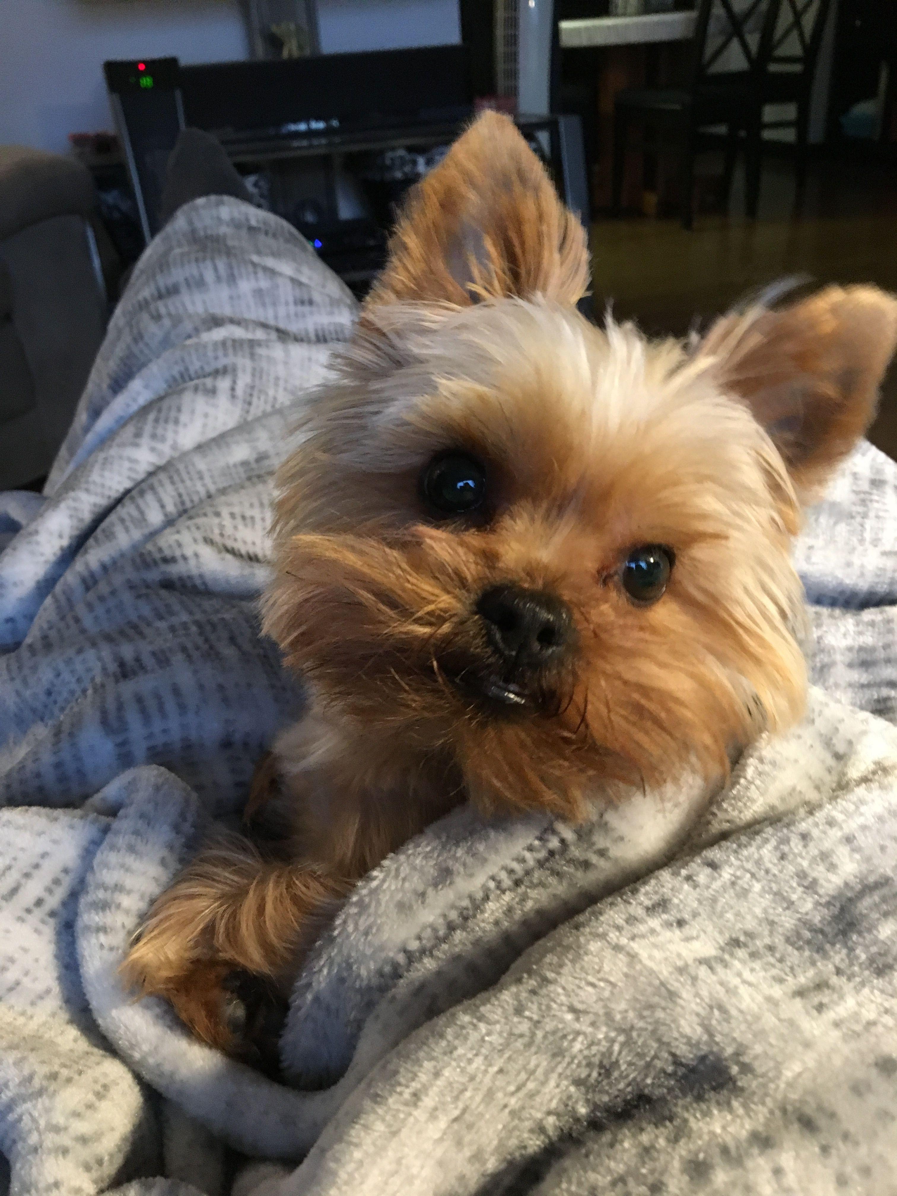 Precious Moments Morkie Dogs Yorkie Dog Breeds