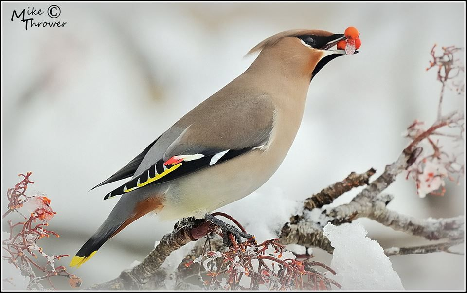 Triple With Ice Waxwing Male With Frozen Food Nikon Stuff 500mm Prime Penicuik Scotland C Mike Thrower Frozen Food Bird Animals
