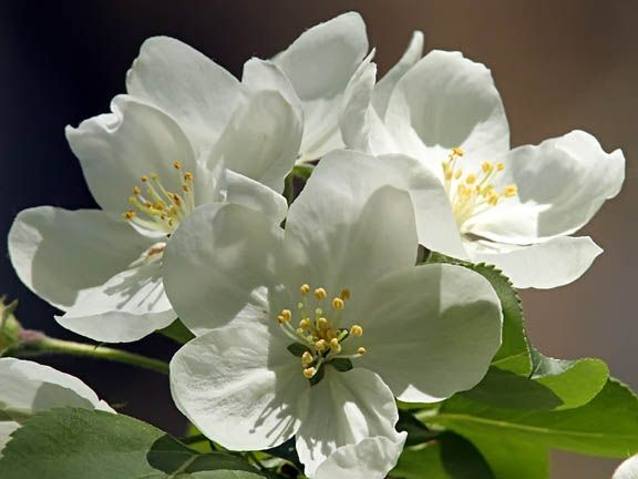 Image result for white flowering trees identification trees image result for white flowering trees identification mightylinksfo