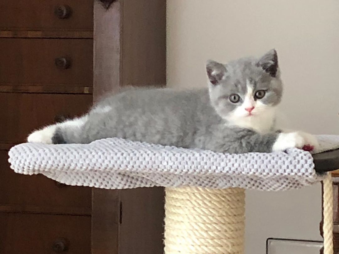 I Love This Little Boy He S A Blue And White British Shorthair He S So Sweet He S 2 Months Old Today British Shorthair British Shorthair Kittens Cat Love