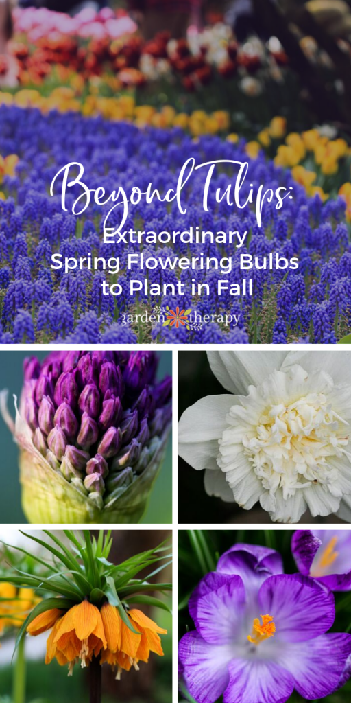 Beyond Tulips 12 Extraordinary Spring Flowering Bulbs To Plant In Fall Fall Bulb Planting Spring Flowering Bulbs Fall Bulbs