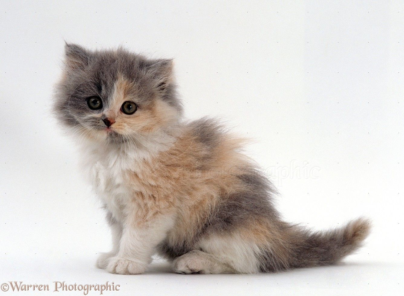 Blue cream bicolour Persian kitten Cobweb x Peony 7 weeks old