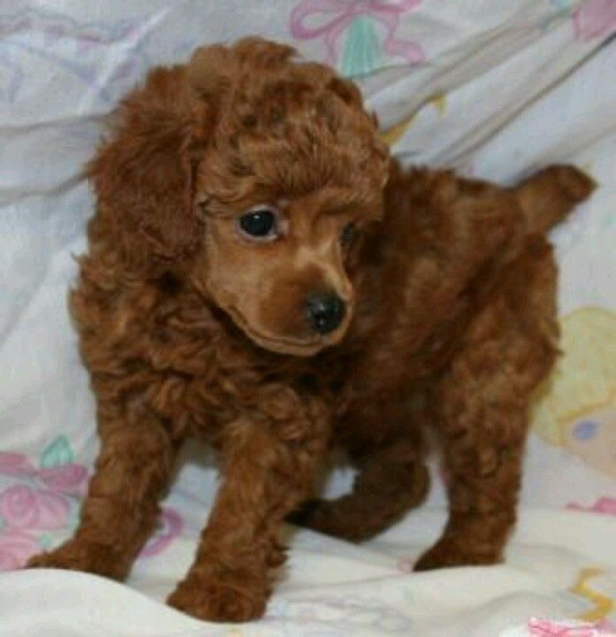 Red Poodle Puppy So Perfect Looks So Much Like My Linus Did