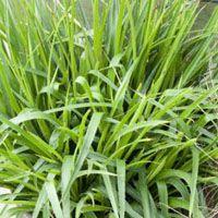 Luzula sylvatica, grote veldbies