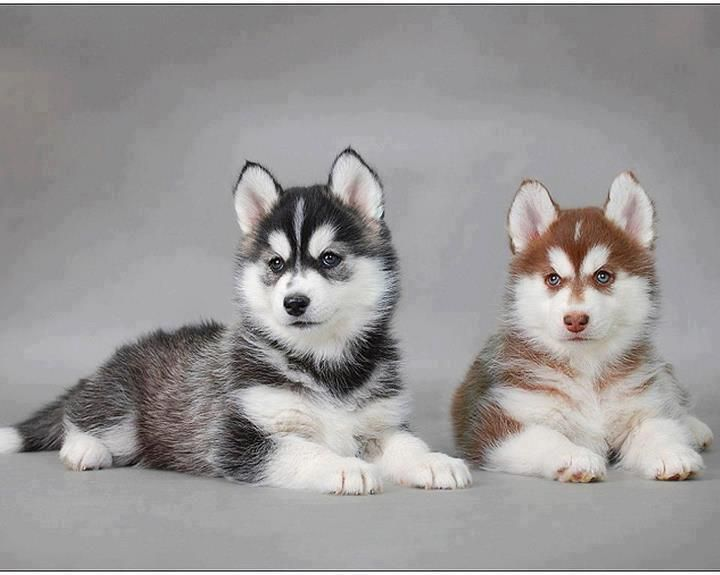 Beautiful Dogs Beautiful Adorable Dogs And Puppies Husky